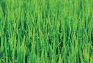 Dream-Greener-Lawn